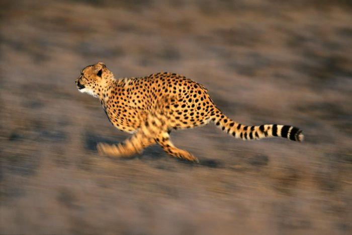 cheetah running shutter speed
