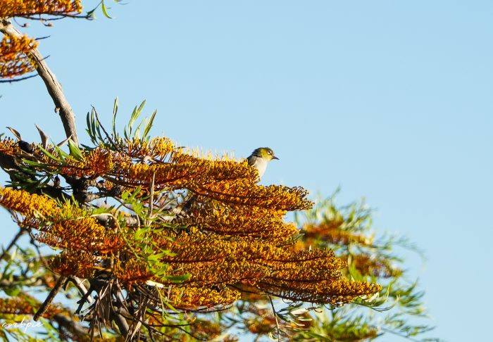 Silvereye small Australian bird