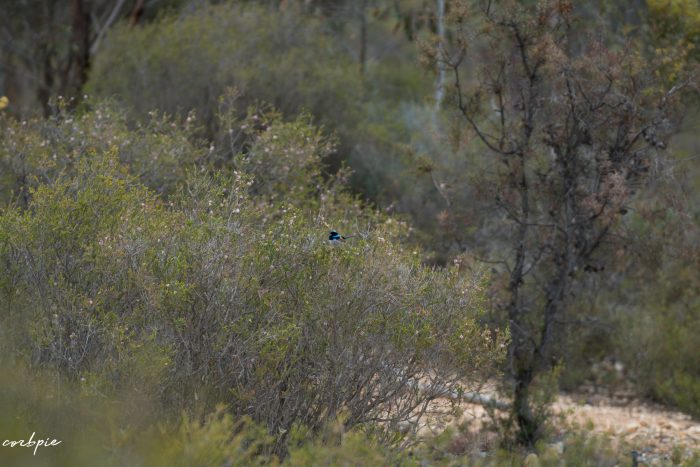 Superb Fairy wren 3
