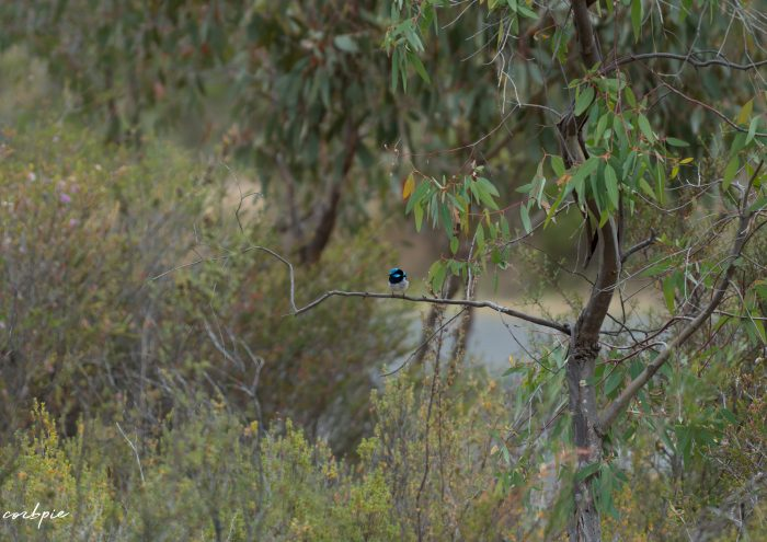 Superb Fairy wren 8