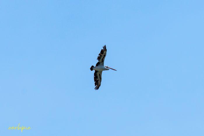 Australian Pelican in flight 10
