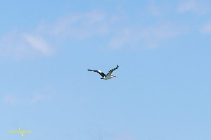 Australian Pelican in flight 13