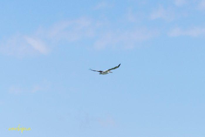 Australian Pelican in flight 15