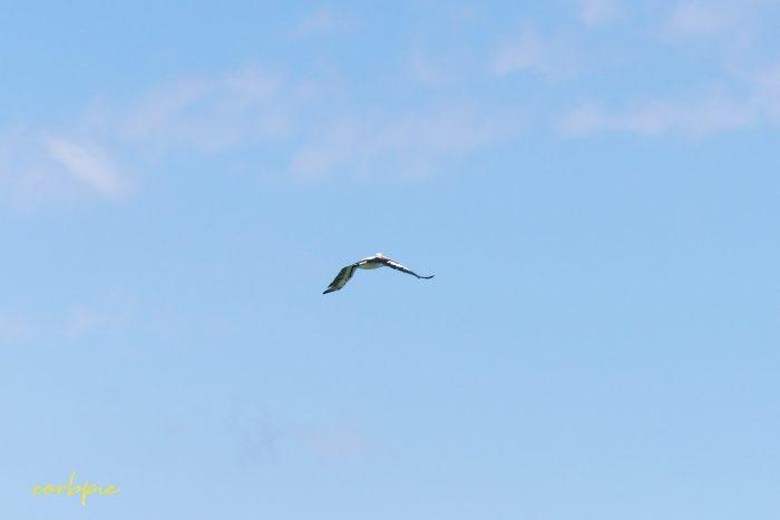 Australian Pelican in flight 16
