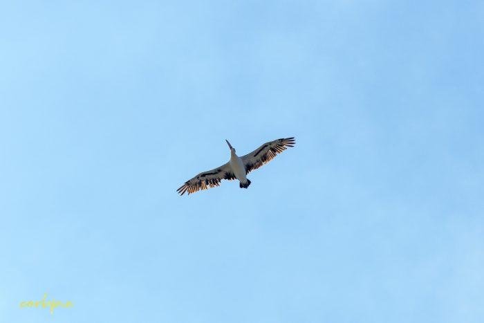 Australian Pelican in flight 3