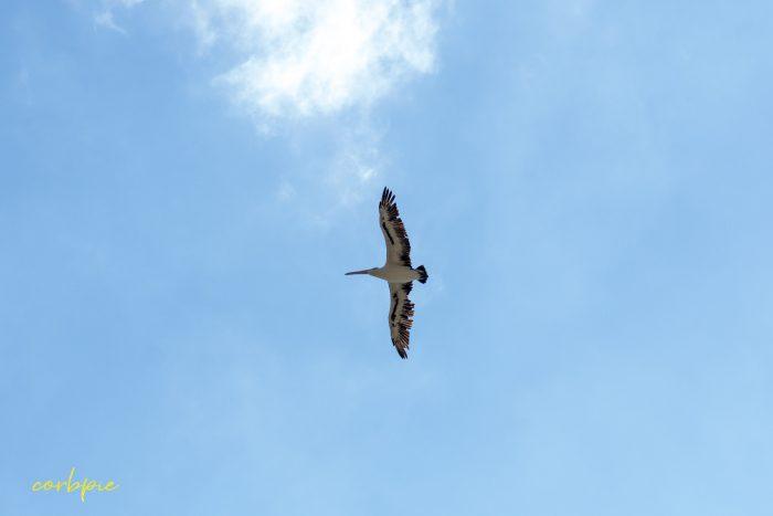 Australian Pelican in flight 4