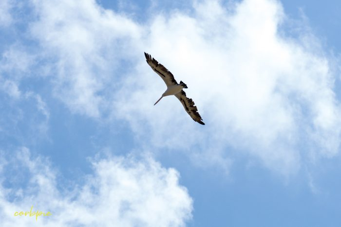 Australian Pelican in flight 5