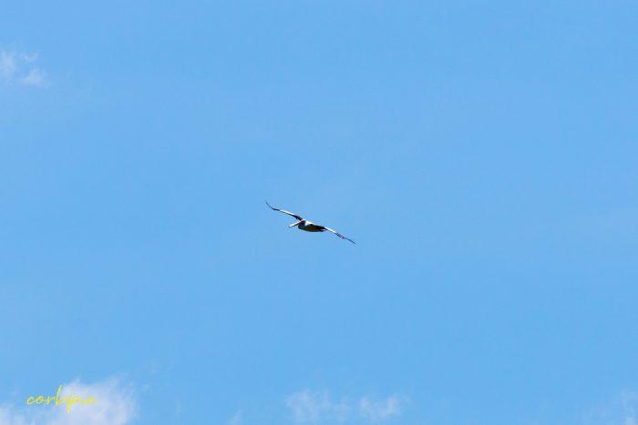 Australian Pelican in flight 6