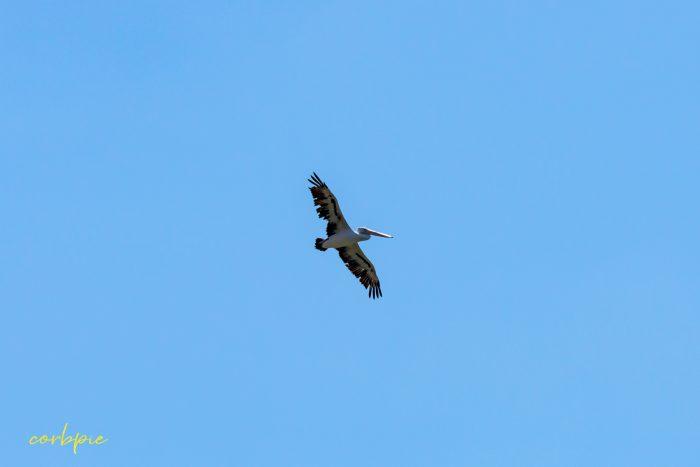 Australian Pelican in flight 7