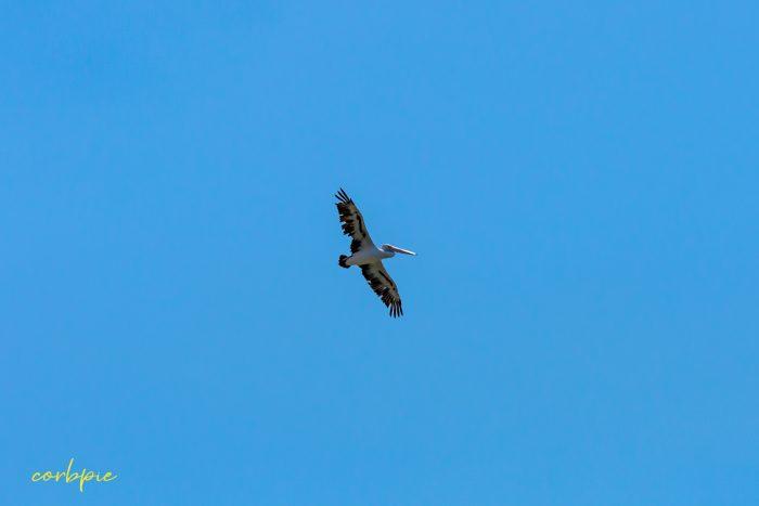 Australian Pelican in flight 8