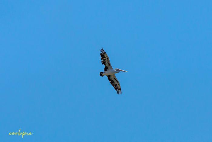 Australian Pelican in flight 9