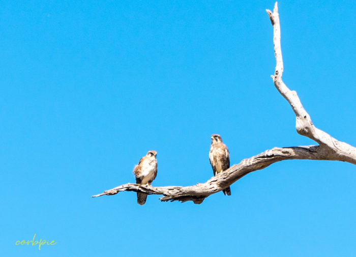 2 Brown Falcons on branch