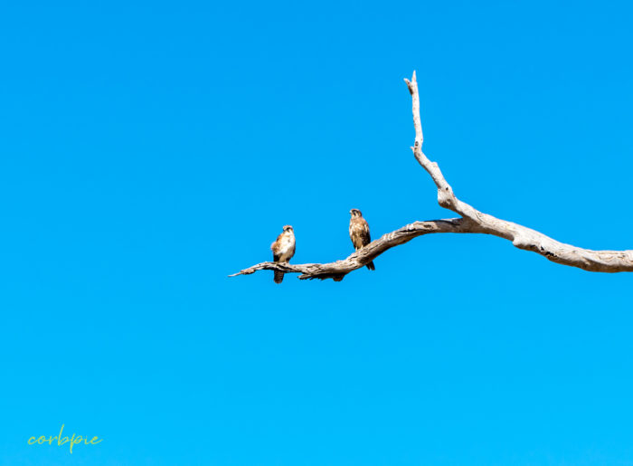 2 Brown Falcons on branch Victoria