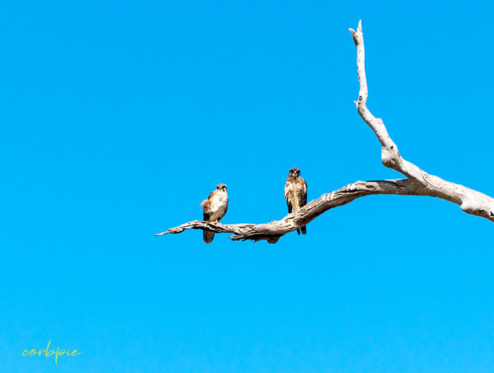 2 Brown Falcons on branch crop